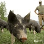 Kickstart New England: The Last Pig