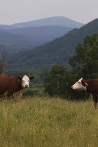 Cows in the Berkshires (Credit: Topher Baldwin)