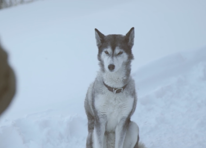 A still of a Siberian Husky in the snow from Ben Silberfarb's short film Fire.