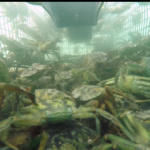 2019 FESTIVAL INTERVIEW: RECIPE FOR DISASTER: GREEN CRABS IN THE GREAT MARSH